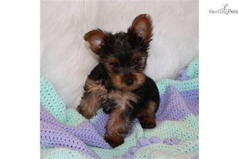 6 pound yorkie meet dalton a terrier yorkie puppy for sale for 500 dalton akc reg