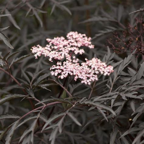 Schwarzer Holunder Black Lace by 17 Best Images About Shrubs On Snow