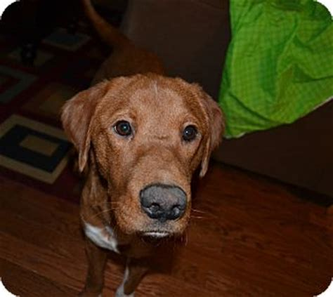 golden retriever and pointer mix heidi adopted chattanooga tn labrador retriever pointer mix