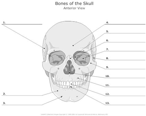 human skull coloring page parts of skull printables google search interesting