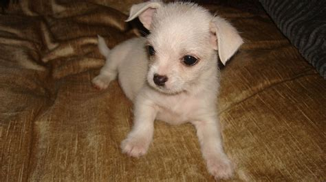 maltese chihuahua mix puppies chihuahua maltese mix puppies picture breeders guide