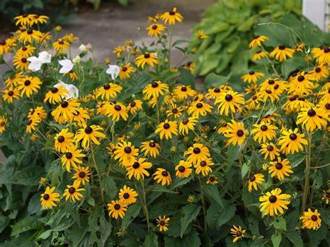 Zone Gardening - rudbeckia fulgida