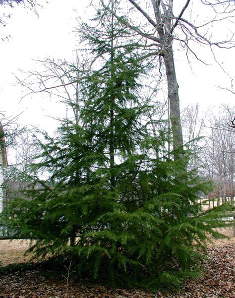 collection deodar cedar christmas tree pictures