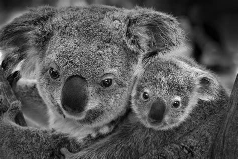imagenes de koalas en blanco y negro ana mart 205 nez c 211 rdoba koala y cr 237 a blog dinasa