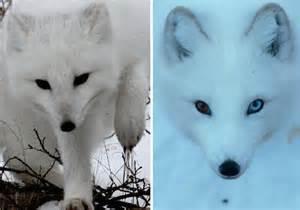Arctic animals 37 photos of snow white wildlife webecoist