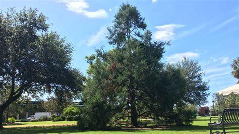 damaged by hurricane irma winter park s christmas tree to