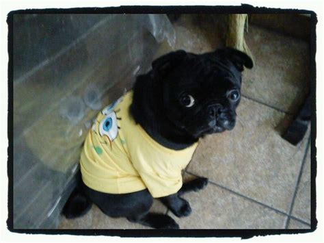 bob the pug 80 best images about pug on pug birthday pug and puppys