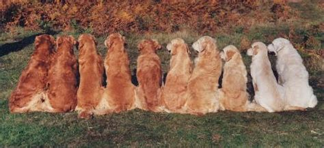 what color are golden retrievers golden retriever colors