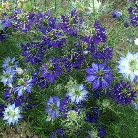 In A Mist Nigella Damascena buy in a mist nigella damascena oxford blue 163 1 99 delivery by crocus