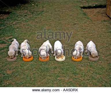 golden retriever puppy feeding feeding for golden retriever puppies photo