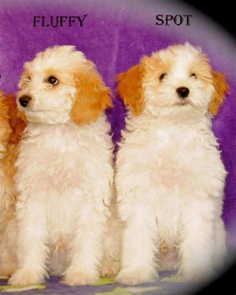 havanese rescue california bichon havanese puppies web page