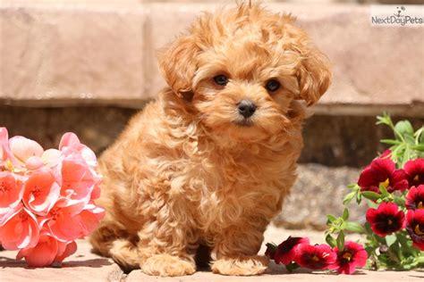 6 week yorkie poo puppies mighty yorkiepoo yorkie poo puppy for sale near lancaster pennsylvania 6c4fc219 b481