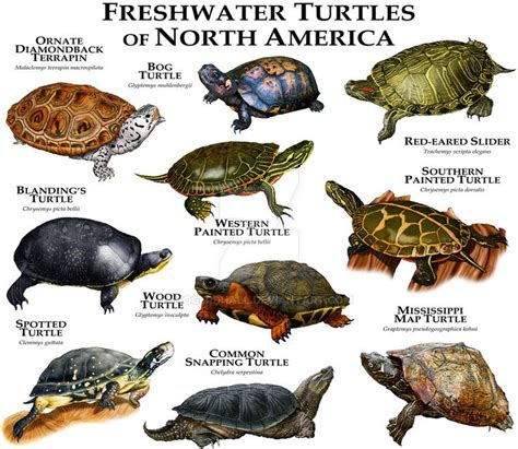 25 best ideas about freshwater turtles on