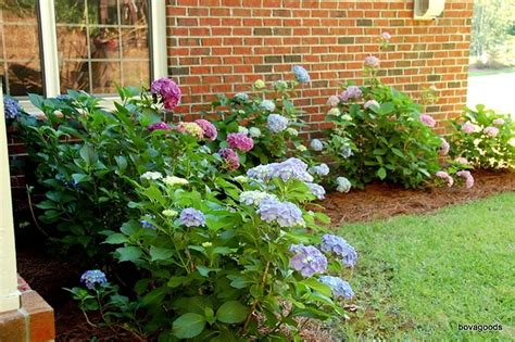 hydrangea front yard 9 best images about front yard remodel on