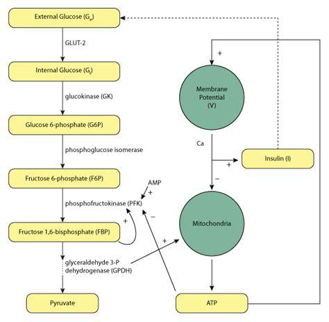 insulin diagram pedersen bertram sherman 2005 physiome model repository