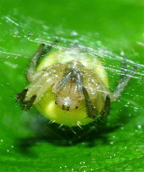 Cute Spiders Phil Ebersole S - cabinet of curiosities cucumber green spider