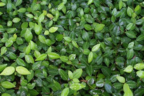 popular landscaping groundcovers and shrubs florida ground cover plants evergreen groundcover