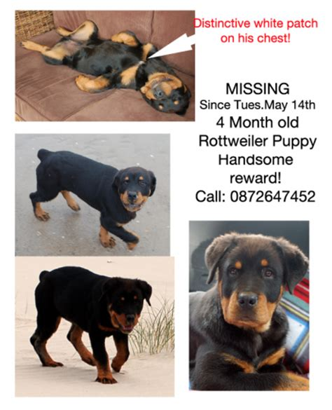 4 month rottweiler rottweiler puppy 4 months munster lost and found pet helpline munster