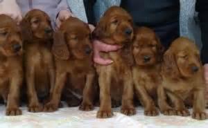 irish setter dogs for sale australia irish setters puppies irish setters australia
