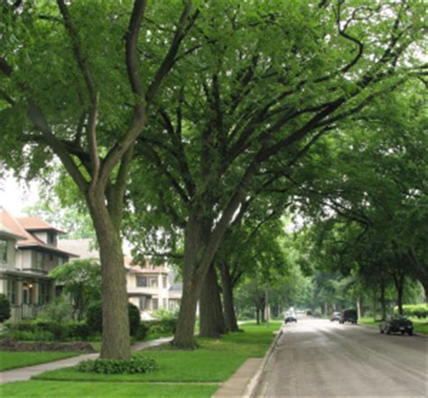 oak tree rubber st climate change may threaten survival of some op rf trees