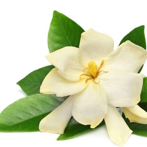 Gardenia Essential Gardenia Fragrance