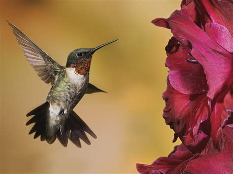colibri bird wallpaper wallpapers9