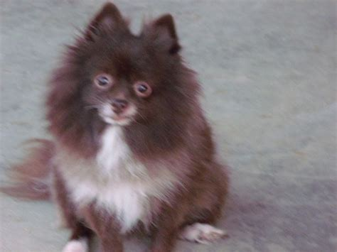 chocolate and pomeranian chocolate pomeranian breeds picture