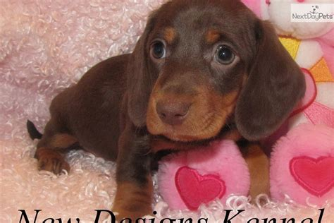 dachshund puppies iowa dachshund puppy for sale near fort dodge iowa 7cac2791 bcb1