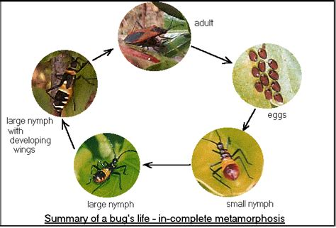 Fig 2184 Vi Egg Attack image gallery leaf bug cycle