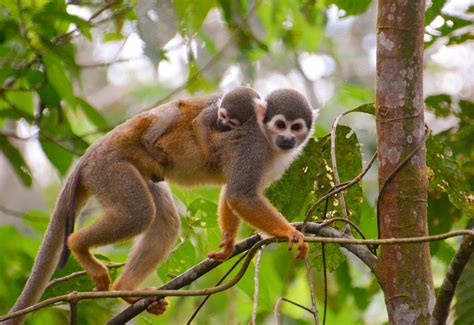 new year facts about the monkey new world monkeys facts information habitat
