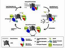 Molecular neuroscience - Wikipedia G Protein Coupled Receptors Diagram