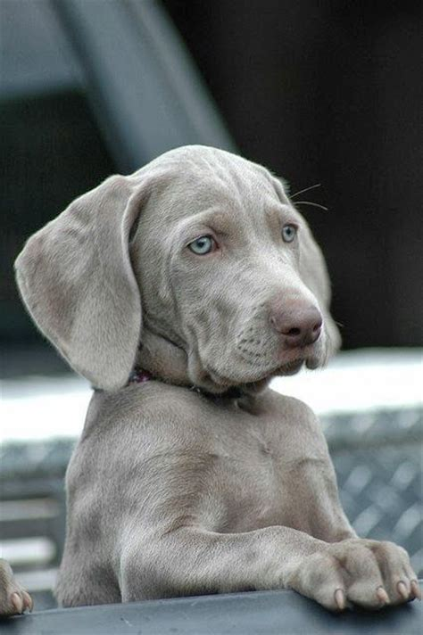 gray lab puppies silver weimaraner puppy d o g coats weimaraner puppies and babies