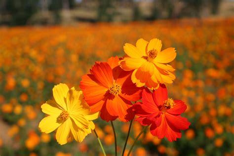 Benih Bunga Cosmos Bright Lights Mix Orange And Yellow Flower 1 silver falls seed company cosmos sulphur bright lights mix