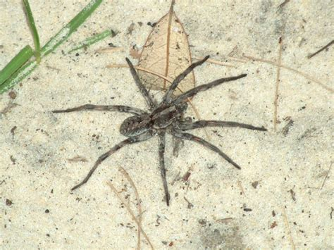 giant wolf spider quotes