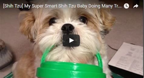 shih tzu doing tricks my smart shih tzu baby doing many tricks shih tzu