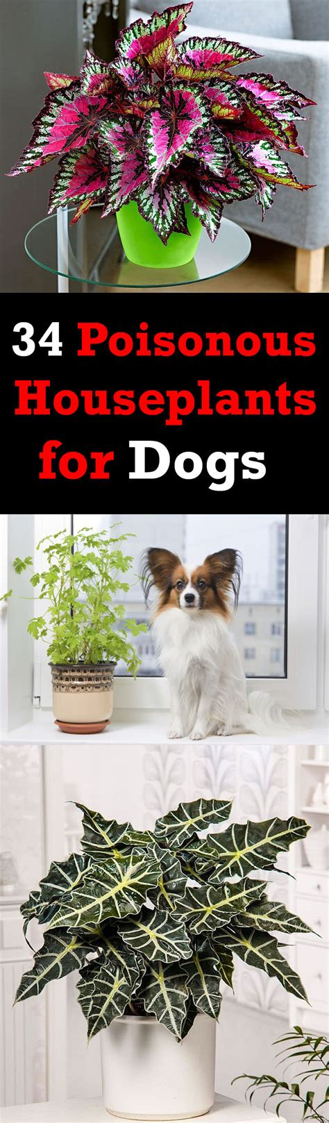 what plants are poisonous to dogs 34 poisonous houseplants for dogs plants toxic to dogs