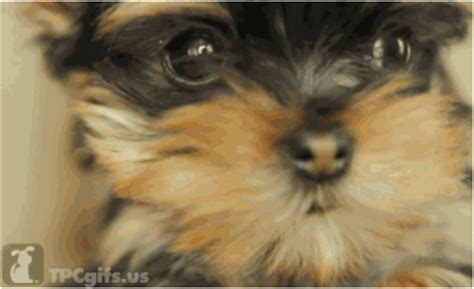 yorkie gif terrier gif find on giphy