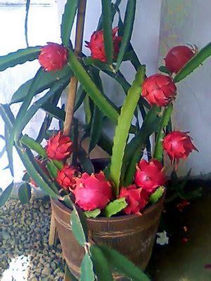 Tanaman Buah Naga Merah Mini prospek cerah buah naga dalam pot dialerbisnis