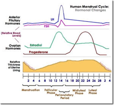 hormone cycle diagram hormone levels during menstrual cycle chart