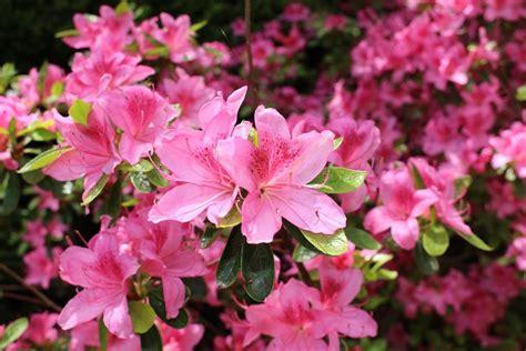 Rhododendron Krankheiten Schädlinge 3350 by Rhododendron Krankheiten Sch 228 Dlinge Rhododendren Sch