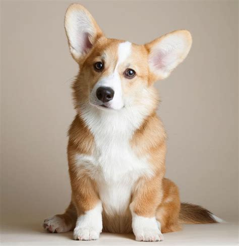 pictures of corgi puppies best 25 corgis ideas on corgi corgi puppies and corgi