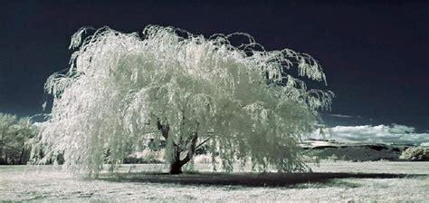 imagenes de arboles invierno los mejores arboles resistentes al frio para tu patio