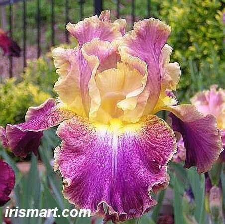 bearded iris high master bearded iris