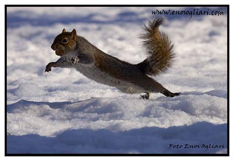 lo scoiattolo volante scoiattolo volante foto immagini natura animali