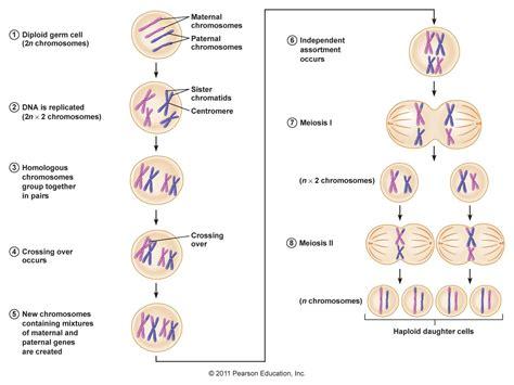 2n 6 meiosis diagram meiosis stages 2n 4 images