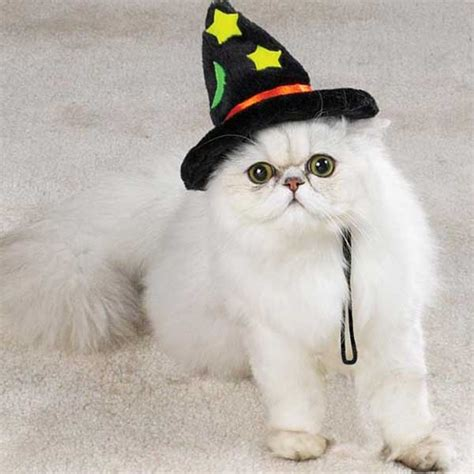 cat in hat cats in the hats 15 hilarious pictures bloger