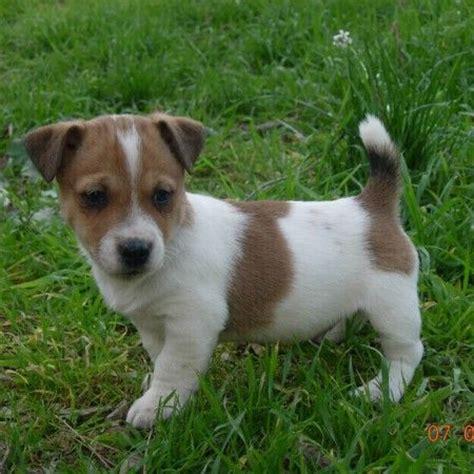 imagenes of jack russell cachorro de jack russell terrier telf 93 650 20 17