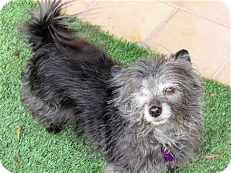 cairn terrier pomeranian mix las vegas nv cairn terrier pomeranian mix meet a for adoption
