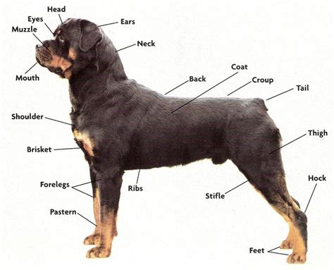 healthy rottweiler 17 best images about anatomy feral canine references anthropomorphic on