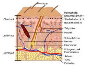 die haut anatomie und funktion
